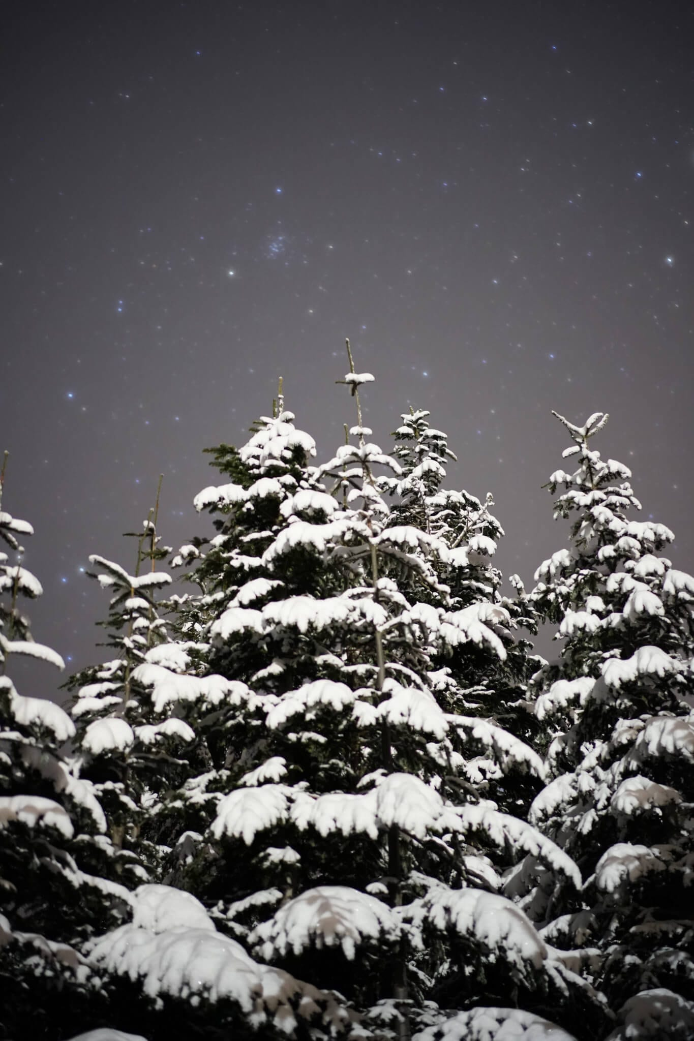Snow Covering Winter Pine Trees