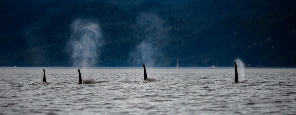 Orcas near San Juan Islands - Washington