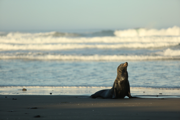 Sea Lion enjoying the Oregon Coast - Pacific Northwest